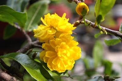 hoa mai 1