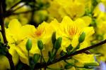 hoa mai 3
