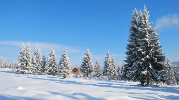 snow-covered-spruces.jpg