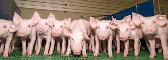 pigs-indoor-mwhite