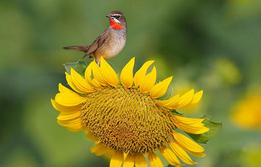 chim va sunflower